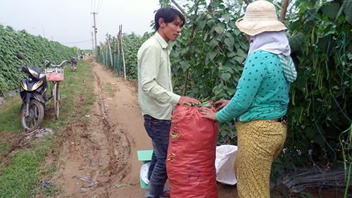Thương lái tới tận vườn để mua rau quả cho bà con làng Bàu Tròn. Ảnh: Bình Phương