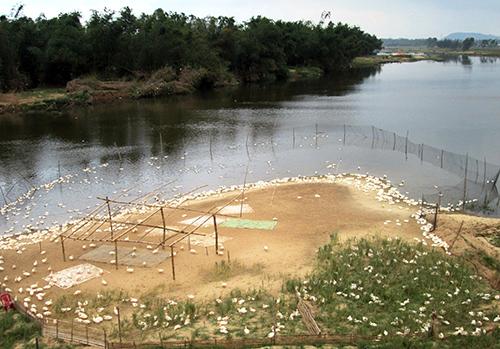 Nhiều bầy vịt đang thả nuôi tập trung trên nhánh sông Thu Bồn nên nguy cơ mầm bệnh lây lan là rất cao.