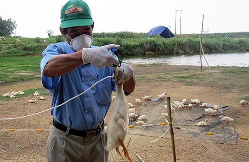 Cần khẩn trương tiêm phòng vắc xin cúm A/H5N1 cho đàn gia cầm để tăng sức đề kháng.