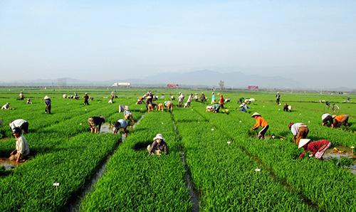 Đông đảo nông dân trên những cánh đồng sản xuất lúa giống ở xã Quế Xuân 1.