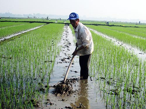 Làm đất tơi nhuyễn để cấy giống lúa bố.