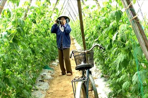 Nhiều cánh đồng mẫu ở xã Đại Minh cho nông dân nguồn thu nhập cao. Ảnh: T. CHÂU