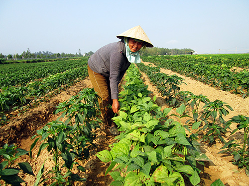 Nhiều mô hình trồng ớt xen đậu cô ve ở xã Duy Châu đang phát triển rất tốt, hứa hẹn sẽ cho một mùa bội thu.