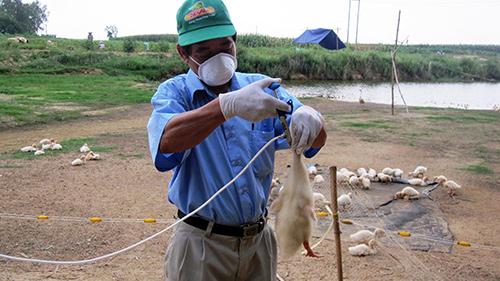 Đến thời điểm này huyện Duy Xuyên đã tiêm được 120 nghìn liều vắc xin cúm A/H5N1. Ảnh: V.S