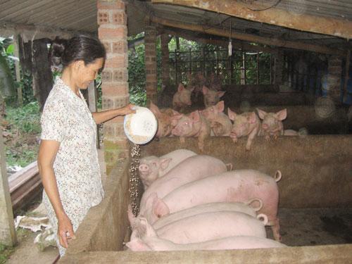 Trại chăn nuôi heo của bà Huỳnh Thị Long.Ảnh: ANH THƯ