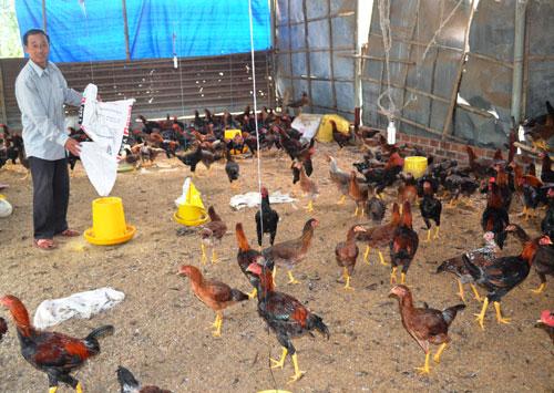 Từ nguồn vốn vay ưu đãi, gia đình ông Nguyễn Hồng Hà đã đầu tư nuôi gà hiệu quả.                                                                               Ảnh: Q.Việt