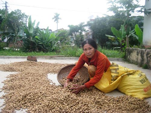 Bà Lê Thị Năm ở thôn Vân Quật (Duy Thành, Duy Xuyên) có sản lượng đậu giảm 65% so với vụ trước.                                                            Ảnh: M.Nhi