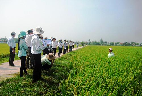 Tham quan các ruộng lúa sản xuất khảo nghiệm tại huyện Duy Xuyên sáng 18.4