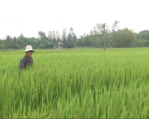 Ông Trần Viết Thùy thăm đồng lúa của gia đình.  Ảnh: Tân Biên