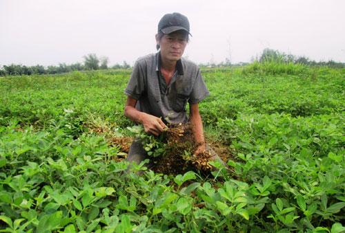 Năng suất tụt, giá bán thấp khiến người trồng đậu phụng bị thua lỗ.