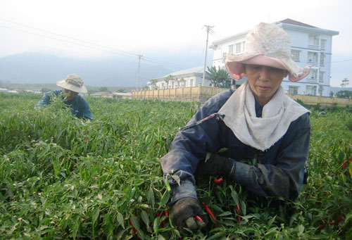 Bà Nguyễn Thị Bốn (Đại Nghĩa, Đại Lộc) rầu lòng vì giá ớt tươi giảm mạnh.