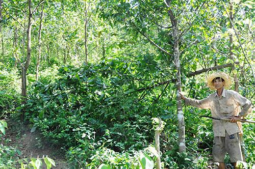 Ông Nguyễn Tấn Phát chỉ nhiều cây sao đen do mình trồng trước đây tại núi Gai, bây giờ đất đã cấp bìa đỏ cho người khác sử dụng. Ảnh: T.NGUYỄN