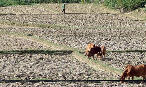 Cánh đồng thôn Ngọc Kinh Đông bị bỏ hoang.Ảnh: BÍCH LIÊN