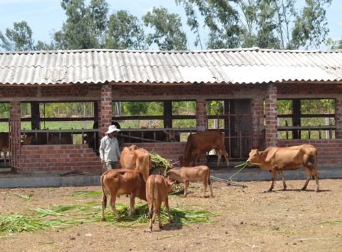 Huyện Thăng Bình ưu tiên hình thành các mô hình chăn nuôi tập trung.Ảnh: N.Q.V