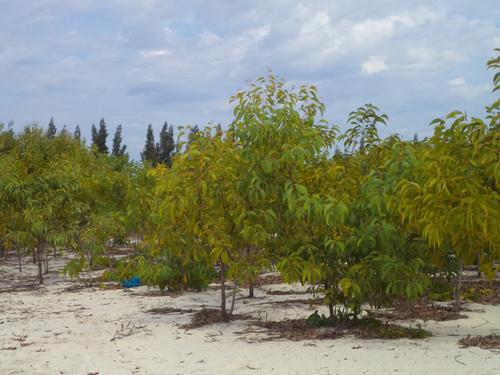 Cây keo lưỡi liềm trồng trên vùng đất cát khô cằn ở xã Tam Thăng phát triển rất tốt.