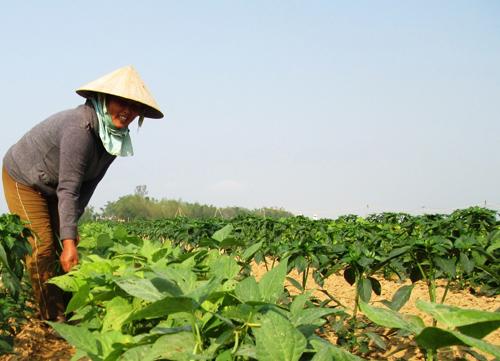 Canh tác các loại rau quả trên đất lúa, mỗi năm nông dân Duy Xuyên thu về 120 - 150 triệu đồng/ha.Ảnh: Nguyễn Sự