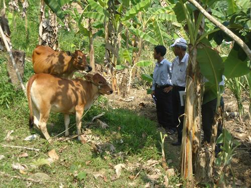 Bò thoát nghèo của người dân ở thôn Phú Mưa, xã Jơ Ngây, Đông Giang. Ảnh: V.V.T