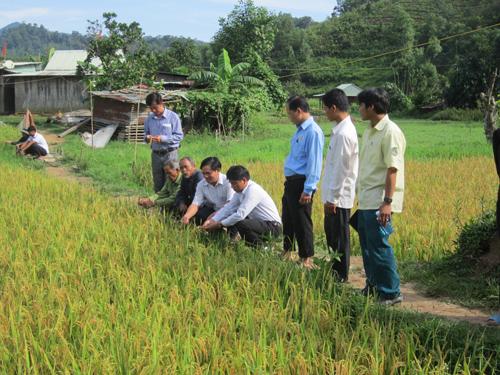 Tại xã Lăng, năng suất lúa đạt khá cao khi được sử dụng phân dúi.