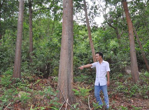 Ông Lương Hiền cho rằng rừng keo ông trồng 8 năm tuổi nhưng ông không được quyền khai thác. Ảnh: T.T
