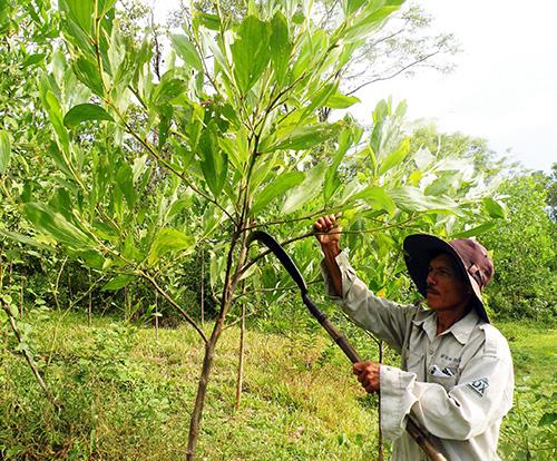 Keo nguyên liệu là cây trồng chủ lực trên địa bàn huyện. Ảnh: NGUYỄN SỰ