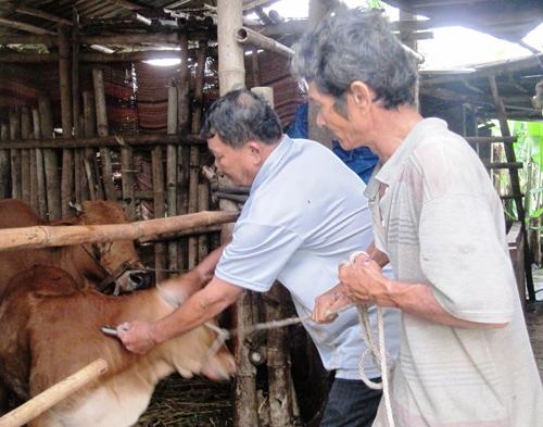 Người chăn nuôi ở Duy Xuyên khẩn trương tiêm phòng vắc xin cho gia súc. Ảnh: N.S