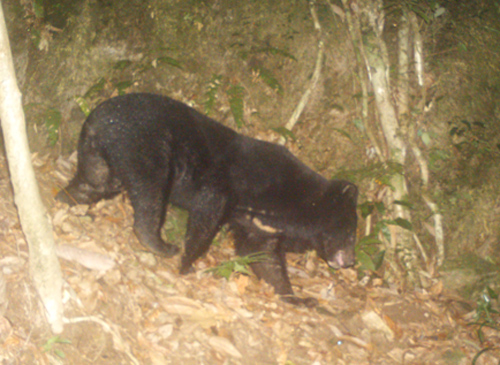 A Asian black bear in Truong Son forest taken by the WWF camera trap –Photo: T.H