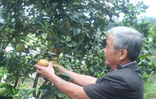 Ông Nguyễn Đức Thắng với vườn cam Vinh trĩu quả. Ảnh: T. NHAN