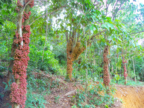 Dâu đất trong vườn nhà ông Nguyễn Tưởng năm nay trĩu trái. Ảnh: T.Q