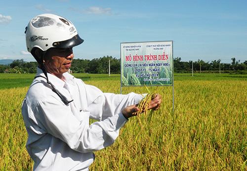 Tham quan mô hình trình diễn giống lúa lai HBO2 tại xã Tam Thành (Phú Ninh) sáng 12.8.Ảnh: N.SỰ