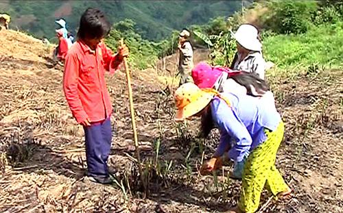 Gia đình anh Hồ Văn Học (ở thôn 2, xã Trà Mai) tỉa lúa, đậu xanh trên rẫy. Ảnh: Hoàng Thọ