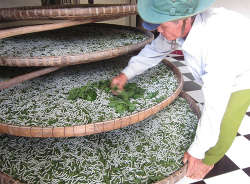Duy trì nghề trồng dâu nuôi tằm giúp người dân Đại Bình có thêm nguồn thu nhập đáng kể. Ảnh: D.T
