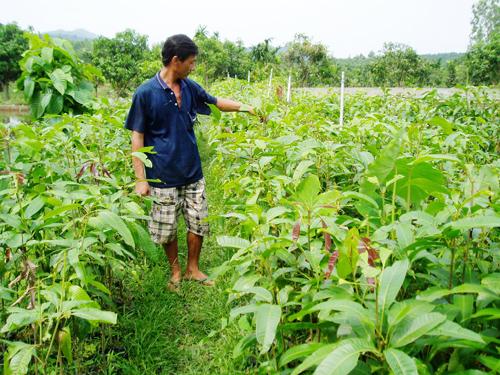 Mô hình trồng cao su tiểu điền phát triển mạnh ở Hiệp Đức.                           Ảnh: T.HỮU