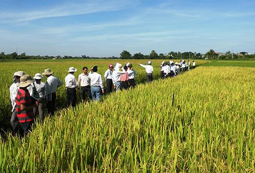 Tham quan mô hình khảo nghiệm 4 giống lúa mới tại xã Đại Hòa (Đại Lộc) vào chiều 19.8