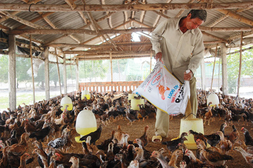 Ông Bùi Việt Tín với trang trại nuôi gà VietGAP của mình. Ảnh: T.L