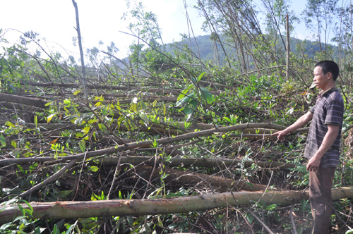 Ông Huỳnh Xuân Thạch tại rừng keo bị đổ ngã do cơn bão hồi cuối năm ngoái gây ra.Ảnh: T.N