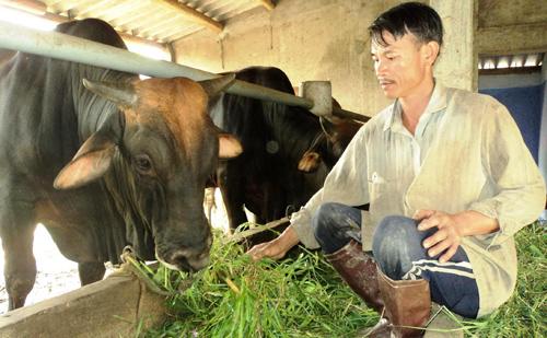 Những năm qua, người dân trên địa bàn tỉnh tập trung phát triển mạnh đàn bò lai.Ảnh: Nguyễn Sự