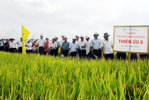 Mô hình khảo nghiệm giống lúa Thiên ưu 8 tại thị trấn Ái Nghĩa, huyện Đại Lộc.