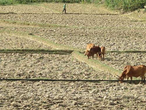 Khô hạn nặng xuất hiện trên một số cánh đồng của xã Đại Hồng trong vụ hè thu 2014.