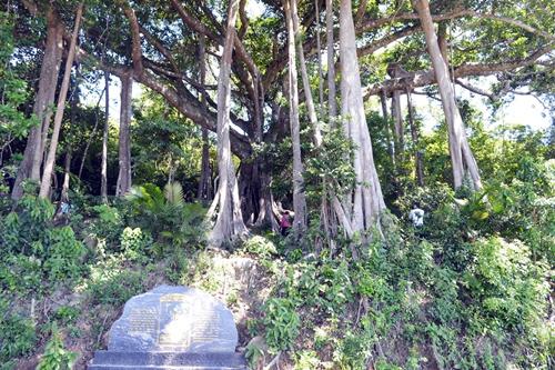 Cây đa di sản tuổi đời hơn 800 năm và chu vi bộ rễ rộng 85m.