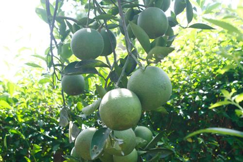 cây trái ở vườn Đại Bình. Ảnh: A.BÀNG
