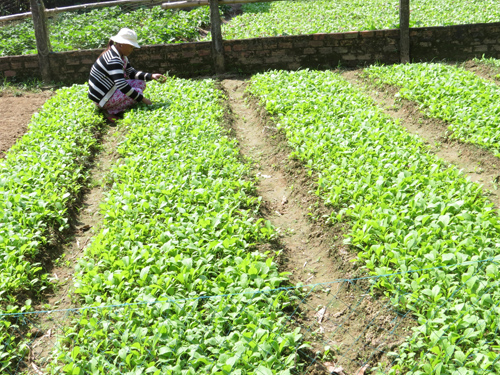 Người dân Tây An đã tiếp cận với kỹ thuật sản xuất rau VietGap.