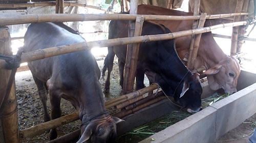 Đàn bò không ngừng được cải thiện về chất lượng.Ảnh: H.LIÊN