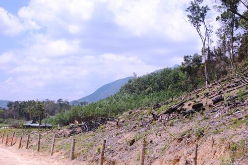 Rừng phòng hộ bị hộ ông Vũ Văn Tam phát để trồng keo. Ảnh: N.D