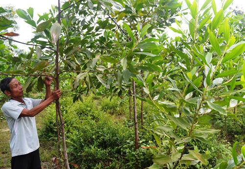 Ông Nguyễn Văn Thanh (thôn Nam Tiển) phủ xanh lại diện tích rừng do mình chặt phá vào năm 2012.  Ảnh: N.Q.V