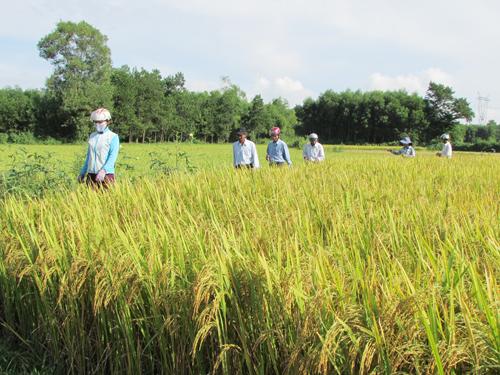 Kiểm tra năng suất giống lúa mới trong vụ hè thu.Ảnh: V.PHIN