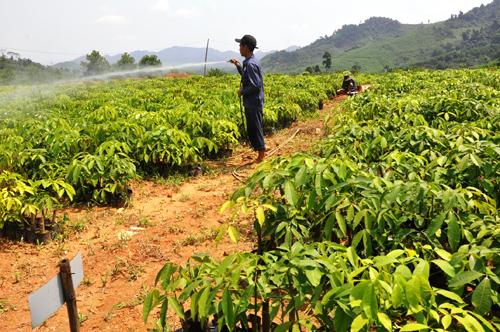 Bất chấp giá cao su xuống thấp, các địa phương vẫn phát triển cây cao su. Ảnh: T.H