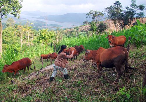 Chăn nuôi bò đang là hướng đi bền vững tại vùng đất Tiểu Tây.  Ảnh: V.HÀO