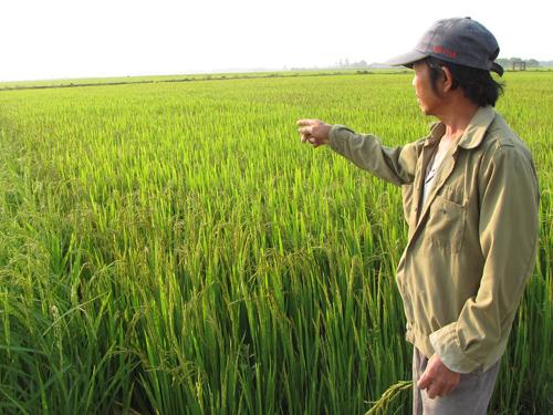 Việc liên kết sản xuất lúa giống của Liên hiệp HTX đã tạo điều kiện thuận lợi cho nông dân trong thời gian qua. Ảnh: T.L