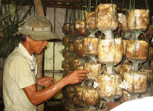 Cựu chiến binh Võ Đình A, Chi hội 2 Hội CCB xã Tiên Lộc trở nên khá giả nhờ mô hình trồng cam và làm nấm sò.          Ảnh: P.HOÀNG