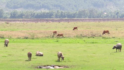 Nuôi trâu lấy thịt đang là triển vọng chăn nuôi ở các xã miền núi Đại Lộc.         Ảnh: Hồng Anh